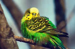 budgie by cloe-may