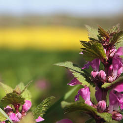 pink dead-nettle by cloe-may