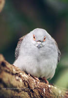 diamond dove by cloe-may