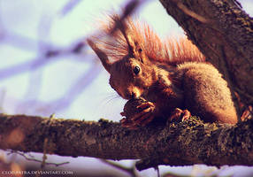 red squirrel by cloe-may