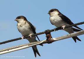 swallows by cloe-may