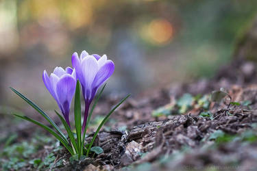 lilac crocus by cloe-may
