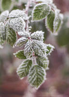22.36 frosty leaves by cloe-may