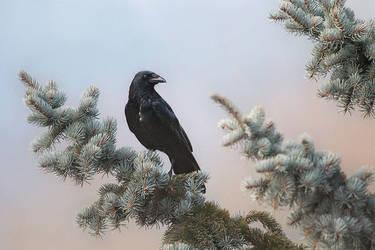 corvus by cloe-may