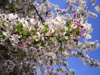 Cherry Blossoms by tehdarkling