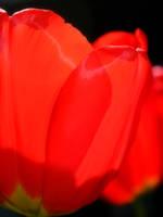 Tulip by pegrowe62