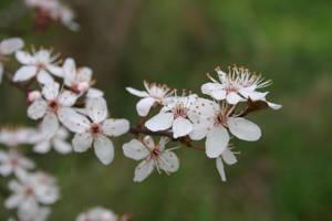 Plum Springtime 01 by pegrowe62