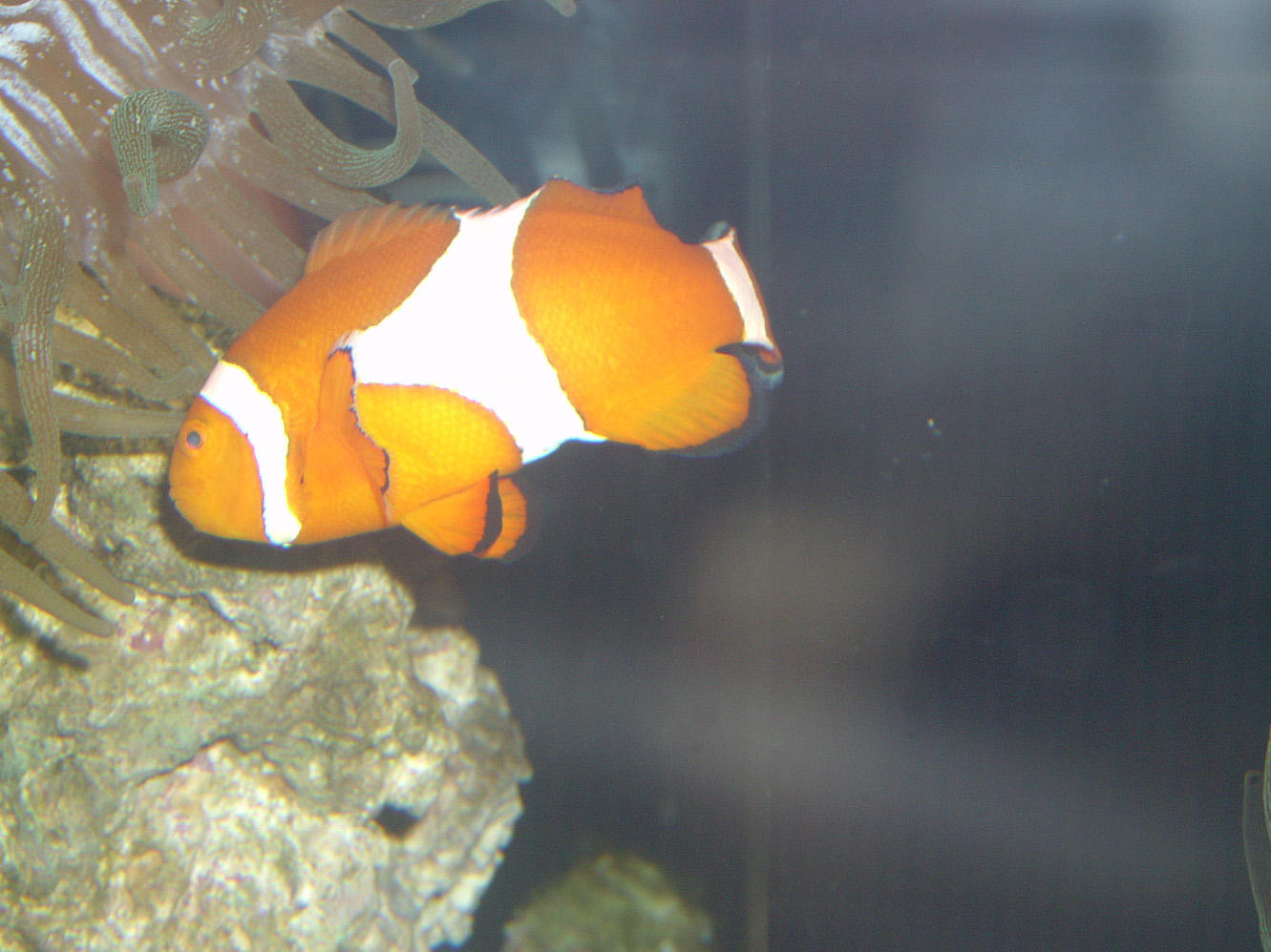 Clownfish by ManixTT-stock