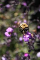 Lavender Bee by bonbon3272