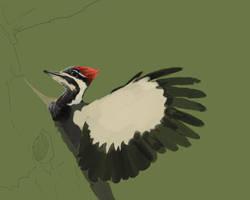 Pileated Woodpecker WIP1 by bonbon3272