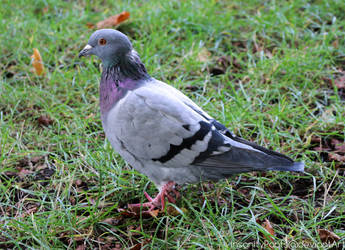 pigeon by InsanityPants