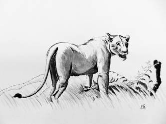 lioness ink study by hillfreak