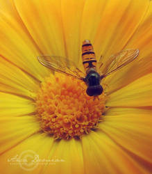 The Summer Is Yellow by Sophibelle