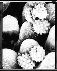 pollen grains by umeboshi