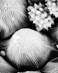 Pollen Grains 2 by umeboshi