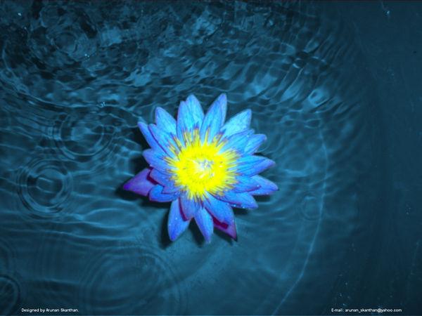 Blue Lotus by arunan-skanthan
