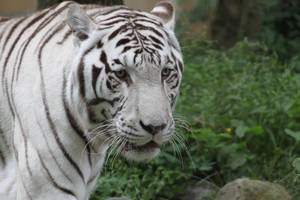 White tiger by BLAxBLA