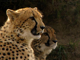 Cheetahs by LucieJirankova