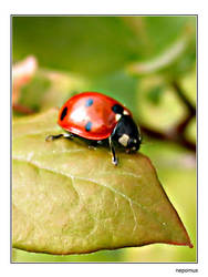 Coccinellida by nepomux