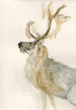 reindeer by Catakumba