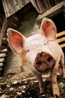 Ferdinand the pig by sekundek