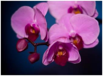 Orchid :3.1: by sekundek