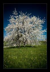 cherry tree .2 by sekundek