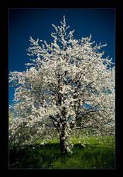 cherry tree .3 by sekundek