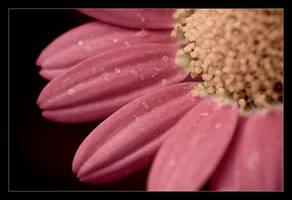 Macro daisy by sekundek