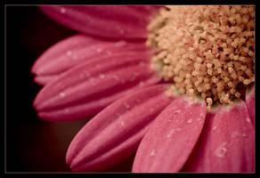 Macro daisy 1 by sekundek