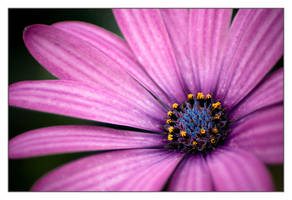 Violet blue by sekundek