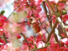 Hummingbird 3 by iristmpl