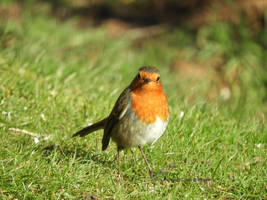 Rouge-gorge / Erithacus Rubecula / European Robin by LePtitSuisse1912