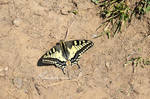 Papilio Machaon by LePtitSuisse1912