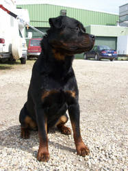 Jordy the Rottweiler by Taralupe