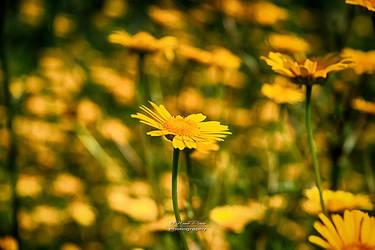 Yellow Dreams by NunoPires