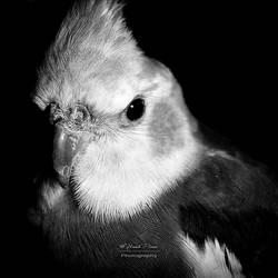 Cockatiel Portrait - bw by NunoPires