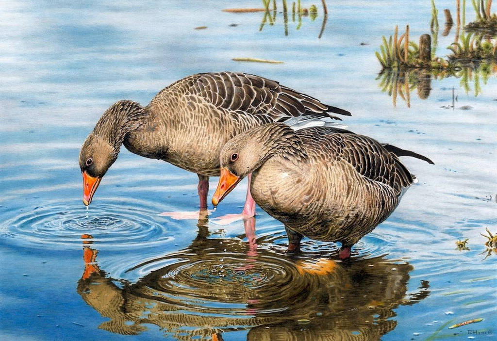 Graylag Geese Drawing by EsthervanHulsen