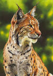 Drawing of a lynx by EsthervanHulsen