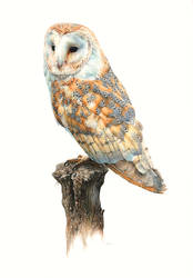 Barn Owl Painting by EsthervanHulsen
