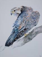 Saker Falcon by jpeckarts