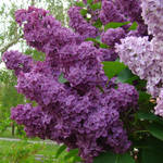 Lilac Coloured by bojar