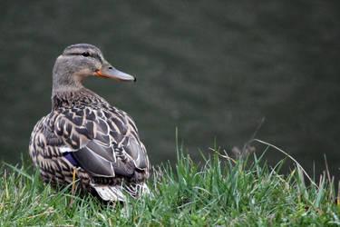 Lady Duck by bojar