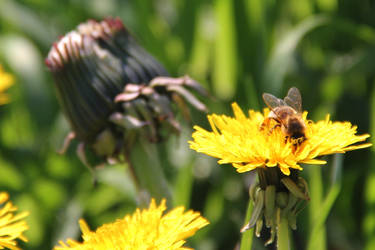 A Bee is There IX by bojar
