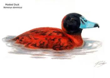 Masked Duck / Marreca de bico roxo by Ricardo-ornitologo