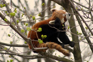 red panda. by yellohbrd