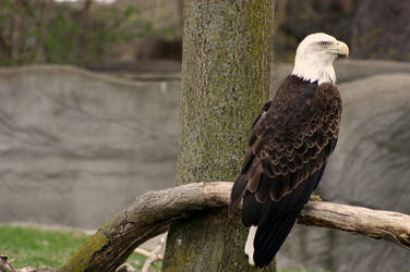 bald eagle. by yellohbrd