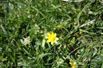 Yellow Buttercup by grieves05