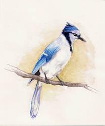 Blue Jay by bibbidy-boo