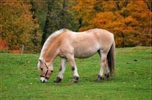 Fjord horse by Triumfa